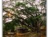 Arbre de Bouddha - Pam Kam - Birmanie