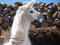 Lama sur le volcan Tunupa