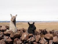 Lamas sur le volcan Tunupa