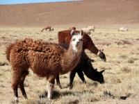 Aguanapampa: Lamas dans le sud Lipez