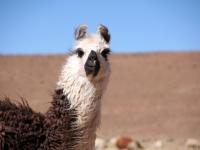 Aguanapampa: Lama dans le sud Lipez