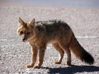 renard des sables sur le salar de Chalviri