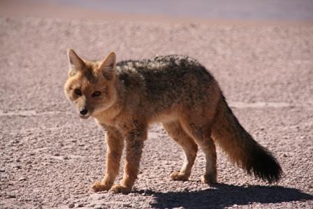 """Un """"zorro"""" (renard) du désert"""