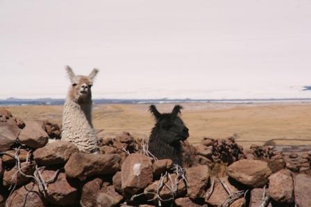 Lamas (au fond le salar d'Uyuni)