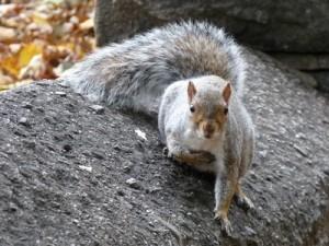 Habitant très répendu dans les parc New yorkais