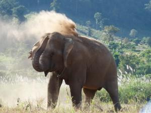 Elephant apres son bain